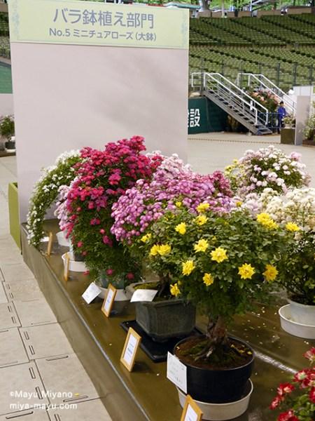 コンテスト「バラ鉢植え部門/ミニチュアローズ(大鉢)」の展示