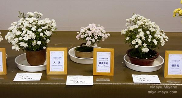 コンテスト「バラ鉢植え部門/ミニチュアローズ(小鉢)」の入賞作品