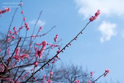 2018.2.27 紅梅 東京都新宿区・新宿御苑