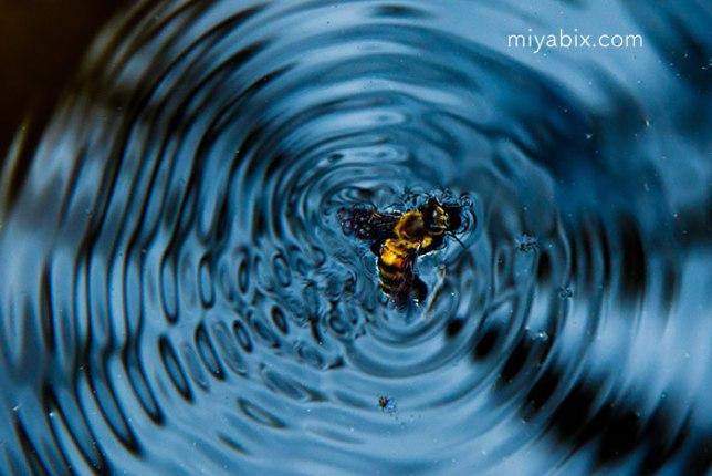 蜂,溺れる