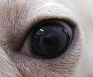 宮川のほとり動物病院,チェリーアイ,第3眼瞼腺突出,