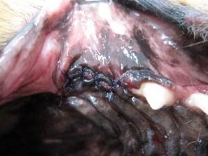 宮川のほとり動物病院,歯科処置,歯肉縫合