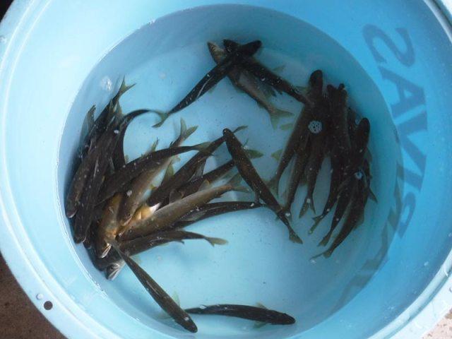 湯津ヶ瀬の釣果30匹