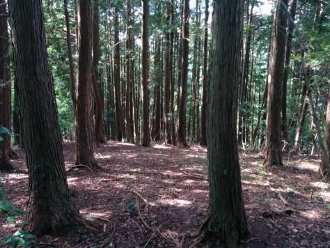 山中にある平地の杉木立 所有林の確認
