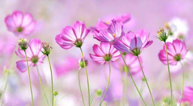 コスモスの花言葉!ピンク、黒、オレンジ、黄色、白、紫、赤を色別で紹介!
