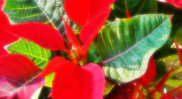 ポインセチアの花言葉!赤、白、ピンクの意味は?青や黄色に花言葉はある?