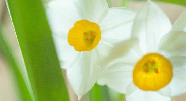 スイセンの花言葉!白や黄色、ラッパスイセン・日本水仙・口紅水仙では?由来はどんなもの?