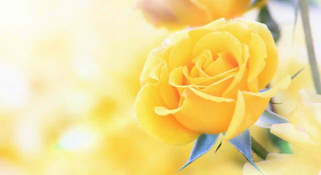 父の日に贈る花の種類,色は何が定番?由来や花言葉・意味は?