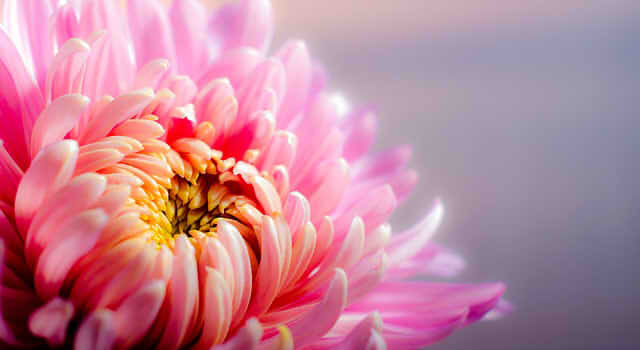 chrysanthemum-202483_640222