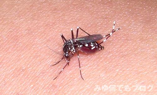 蚊が血を吸っている画像