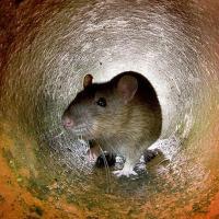 """Jeden z estońskich rolników dokonał dramatycznego odkrycia. Znalazł """"króla szczurów"""". To zapowiedź zarazy lub głodu"""