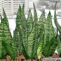 """""""Ta roślina ma zbawienny wpływ na nasze zdrowie, powinna stać w każdej sypialni"""""""