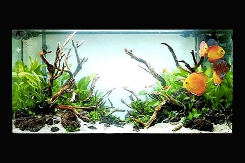 宝石の名の付いた熱帯魚たち。水草レイアウト・緑の水景と体色のマッチングは?