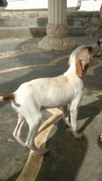 Cute stray puppy at Ashram