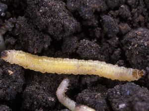 A western corn rootworm hunts for a corn root. Center for Invasive Species and Ecosystem Health/Wikimedia Commons