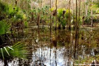 Bulow Woods swamp