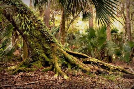 Marks- Hickory Nut Tree