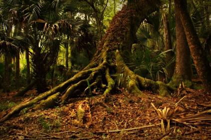 Joey- Hickory Nut Tree
