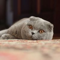 What Kind of Cat Are You? Quibblo Quiz