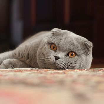 353px-Adult_Scottish_Fold