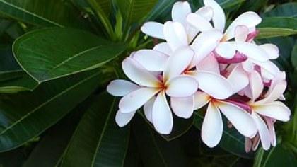 frangipani-393646__180