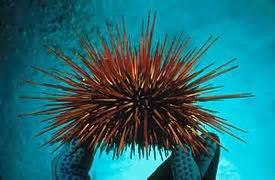 thU4BCLOIB Urchin daidema savigigni red urchin