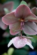Hellebore orientalis---Long blooming Lenten rose--takes deep shades