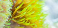 Soft coral (green star polyp) Pachyclavularia violacea