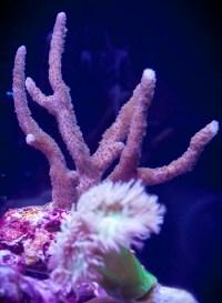 Montipora digita blue coral