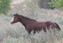Young wild stallion-Badlands