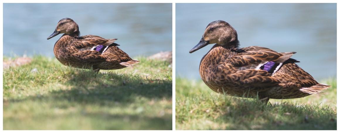 Photograph Female Mallard Duck Zeiss 300mm Jena Crop Detail