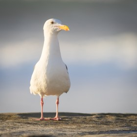 Seagull portrait at the beach using the Canon 500mm Vintage Lens