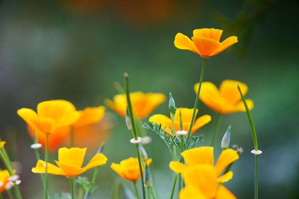 California Poppies shot with a Canon FD 500mm f4.5 vintage lens on a modern digital Snony A7 II