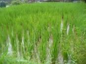 Rice paddies (patties) at the Longji Rice Terraces