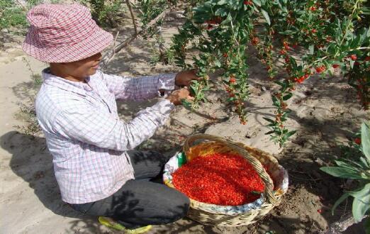 Xinjiang wolfberry