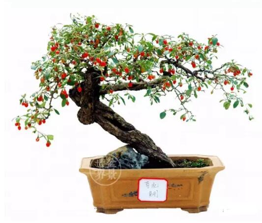 Lycium barbarum L bonsai
