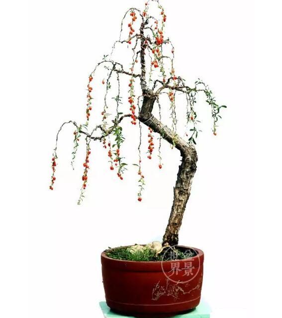 goji tree for bonsai