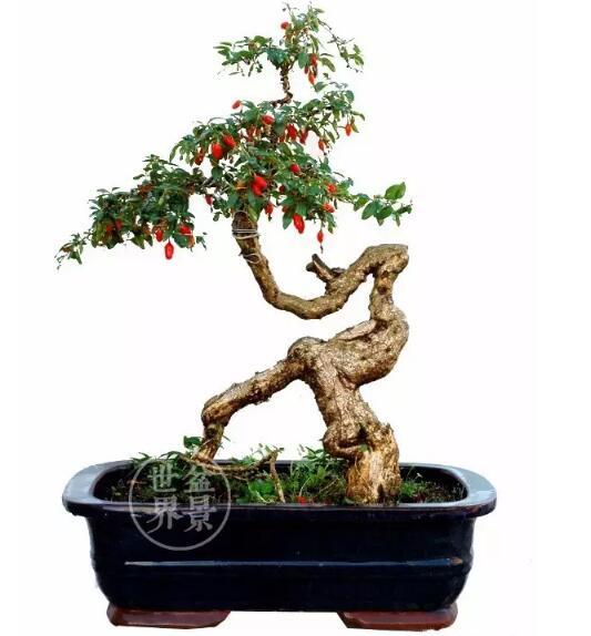 bonsai for goji berries