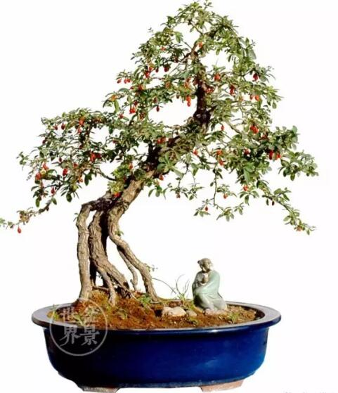wolfberry sapling bonsai