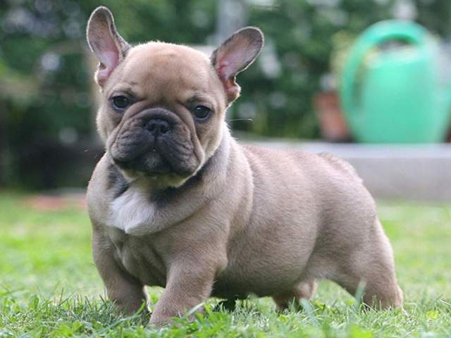 blue french bulldog breeders and clubs -