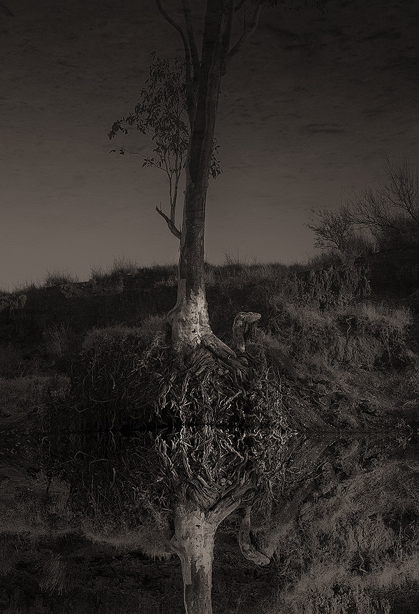 Tree clings to life on the edge of a billabong in the desert, near Alice Springs, NT Aust