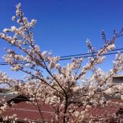自宅から見た桜
