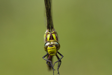Southern Hawker, Stover Country Park, 19Jul14 ©Peter Hassett