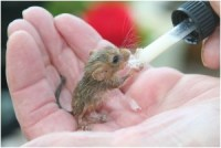Orphaned hand reared Dormouse