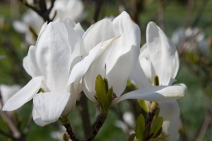 One of the many magnolias
