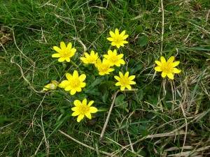 Celandine by Julie Lane, Dorset. 30Mar15