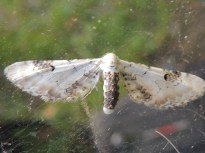 Lime-speck Pug moth
