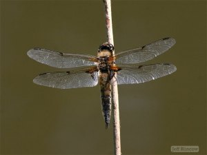 Female four-spotted chaser dragonfly