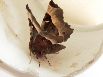 Purple Thorn moth