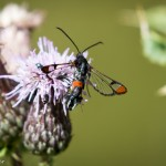 Red-tipped Clearwing by Peter Garner at Wolverton Mill